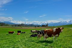 Swiss cows on green Pasture Royalty Free Stock Photo