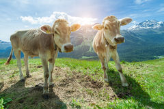Swiss cows look us  in the summit of the mountain Stock Image