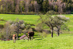 Swiss cows on meadow Stock Photography