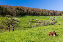 Swiss cows on meadow, Aargau, Switzerland Royalty Free Stock Images