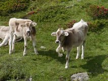 Swiss cows in a meadow of the Bernina pass Royalty Free Stock Photography