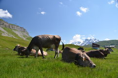 Swiss cows. Stock Images