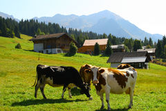 Swiss cows in the mountains. A bunch of cows in the mountains of Switzerland Stock Photo