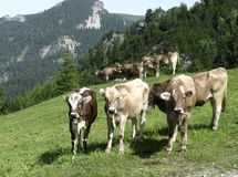 Swiss cows in the mountains of Liechtenstein Stock Photography