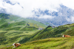Swiss Cows over Kleine Scheidegg, Bernese Oberland, Switzerland Stock Photos