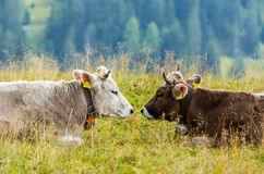 Swiss cows on pasture in Alps. Two cows with bells lying facing each other in Swiss Alps Stock Photography