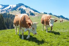 Swiss cows on pasture. Cow in alpine landscape. Cows on mountain pastures. Royalty Free Stock Image