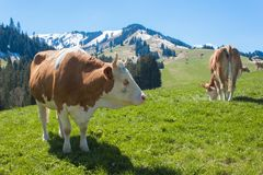 Swiss cows on pasture. Cow in alpine landscape. Cows on mountain pastures. Stock Photography
