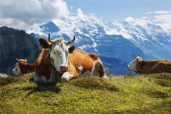 Swiss cows at rest on Schynige Platte, Switzerland. These lucky Swiss cows have grand views high atop the splendid Schynige Platte, in the Bernese Alps near Royalty Free Stock Photo