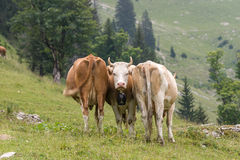 Swiss cows Royalty Free Stock Images