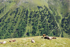 Swiss cows with a view. On alpine valley Royalty Free Stock Photos