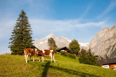 Swiss Dairy Cow. Two dairy cows(calf) on grass in Switzerland royalty free stock photography