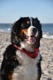 Swiss dog posing Royalty Free Stock Photography