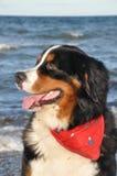 Swiss dog posing Stock Image