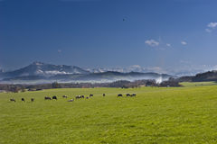 Swiss farm. Cows in the swiss countryside, one of the symbols of Switzerland Stock Image