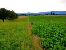Swiss Farm Girl. A girl smells and admires a sunflower near rural Rheinfelden, Switzerland royalty free stock image