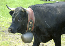 Swiss fighting bull. Preparing for a charge Royalty Free Stock Photography