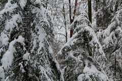 Swiss forest covered in snow. A Swiss forest covered in snow during winter Royalty Free Stock Image