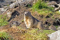 Swiss groundhog. Male groundhog watching the site while female and kid in the back are searching for food Royalty Free Stock Images
