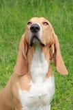 Swiss Hound Royalty Free Stock Photo