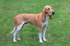 Swiss Hound Royalty Free Stock Images