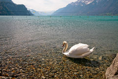 Swiss lake with a swan stock photo