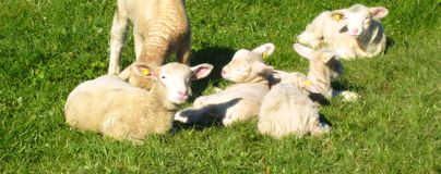 Swiss lambs and sheep slumber in the sun on a green meadow for easter cards royalty free stock image