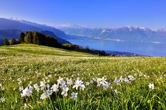 Swiss landscape in spring with flower meadow and lake Royalty Free Stock Images