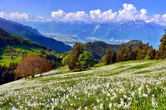 Swiss landscape in spring with flower meadow and lake Royalty Free Stock Image