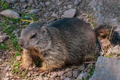 Swiss marmot in summer in Klewenalp royalty free stock photography