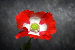 Swiss moon flower.  Royalty Free Stock Photography