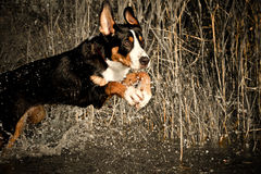 Swiss Mountain Dog Royalty Free Stock Photo