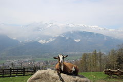 Swiss Mountain Goat. Mountain Goat relaxing on a rock in the Swiss Alps. Heidiland, Maienfeld Switzerland Stock Images