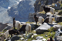 Swiss mountain goats Royalty Free Stock Images