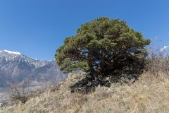 Swiss mountain pine - pinus mugo - in the sunny slopes of the Rhone Valley in Valais, Switzerland stock photo