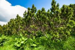 Swiss mountain pines Royalty Free Stock Photos