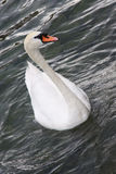 Swiss Mute Swan  Royalty Free Stock Image