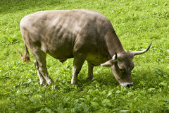 Swiss ox. Eating the grass of a green meadow Royalty Free Stock Photography