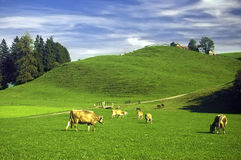 Swiss pasture in the summer Stock Photography