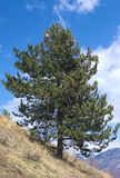 Swiss pine ( Pinus cembra ) Stock Image