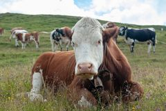 Swiss Red White Cow, grazing in the Italian Alps