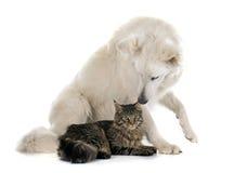 Swiss shepherd and cat Royalty Free Stock Image