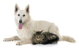 Swiss shepherd and cat Stock Photo