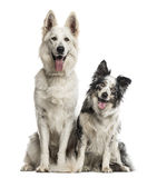 Swiss shepherd dog and border collie Royalty Free Stock Images