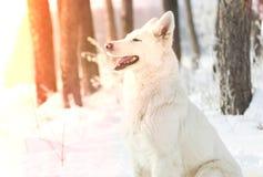 Swiss Shepherd Dog, looking royalty free stock photos