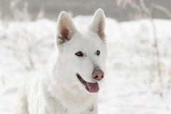 Swiss Shepherd Dog looking Royalty Free Stock Image
