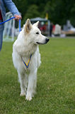 Swiss Shepherd dog Royalty Free Stock Images