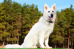Swiss Shepherd dog sitting over forest. Background Royalty Free Stock Photo