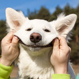 Swiss Shepherd dog smiles Royalty Free Stock Image