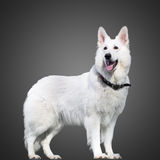 Swiss Shepherd dog staying on gray Royalty Free Stock Images